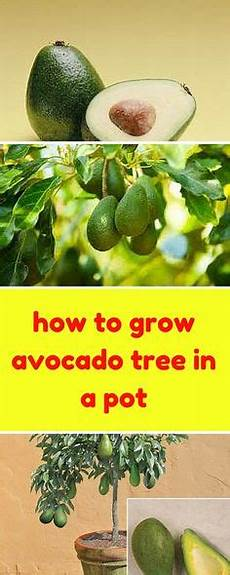 How To Grow Avocado In A Pot Growing Avocado From Seed