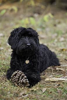 black labradoodle haircuts labradoodle pictures of our wonderful dogs and puppies spring creek labradoodles
