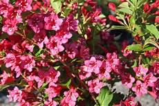 pflanze mit roten blüten weigela bristol ruby weigela flowering shrubs