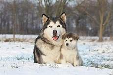 wolf ancestry what are wolfdogs and do they make