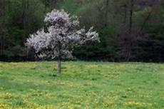 aprikosenbaum pflanzen 187 so gelingt der anbau bestens