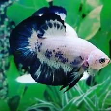 Ikan Cupang Blue Panda Shopee Indonesia