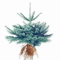 mit wurzel edeltannen weihnachtsbaum guru