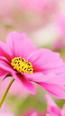 flower wallpaper iphone 6 plus pink dahlia macro flower iphone 6 plus hd wallpaper hd