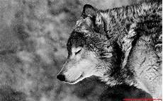 Black Alpha Wolf Wallpaper black wolf wallpaper 64 images