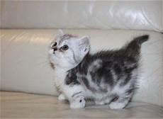 Legged Munchkin Kittens For Sale Simpang Free