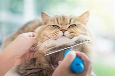 cat hair hair loss in cats symptoms causes diagnosis treatment