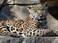 jaguar attacks taking selfie arizona zoo issues barrier warning insider