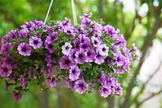 fiori a cascata fiori a cascata i pi 249 bei fiori a cascata da balcone