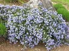 plante couvre sol persistant ceanothe talus couvre sol jardin inspiration