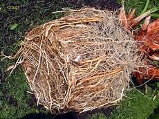 palme umtopfen wurzeln abschneiden palmen und co 187 220 berwinterung washi in der garage