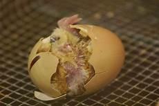 Gambar Proses Menetasnya Telur Ayam Berikut Dibawah Gambar