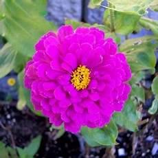 Cari Morfologi Gambar Bunga Pacar Air