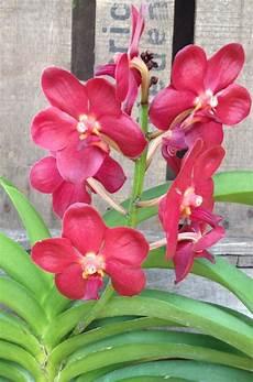 rote orchidee kaufen die rote phalaenopsis im shop