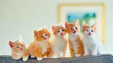 golden kitten wallpaper kitten wallpaper cats kittens