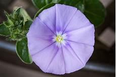 balkonpflanzen blaue mauritius tipps zur pflege und