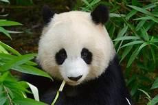 Mengapa Panda Sangat Menggemaskan Sains Menjawabnya