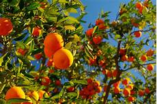 Tips For Planting Orange Trees 171 Trees 171 Gardening Tips Now