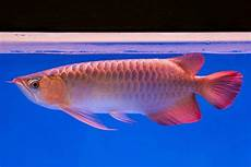 Makanan Ikan Cupang Cepat Bertelur berbagai macam gambar ikan air laut dan air tawar