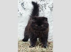 Long haired black kitten   Kittens   Pinterest   Persian