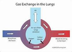 gas transport diagram respiration and gas exchange in humans studyblue