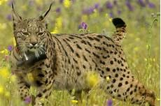 Le Lynx Ib 233 Rique Victime Des Voitures En Espagne Elodie