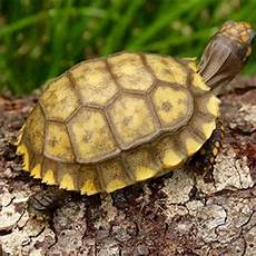yellow foot tortoise care sheet baby yellow footed tortoises for sale online hatchlings