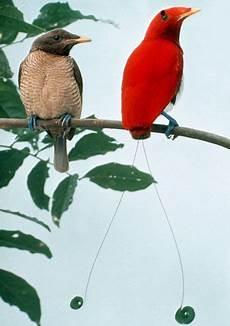 cing paradis cicinnurus regius ave para 237 so real king bird of