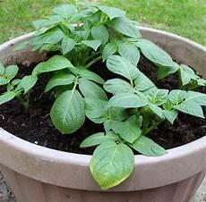 kartoffelanbau im garten 10 tipps f 252 r den kartoffelanbau im eigenen garten plantura