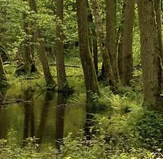 polen durch europas letzten urwald streift der wisent