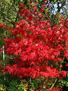 Name Acer Common Name Maple Tree Many Varieties