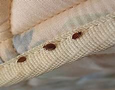 pulci materasso disinfestazione cimici dei letti debellarle o cambiare