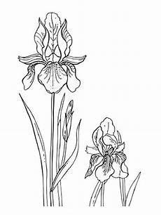iris flower coloring page coloring home