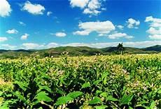 Wissenswertes Tabakparadies Kuba