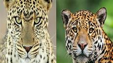 leopard jaguar the differences youtube