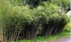 Winterharte Bambus Hecke Fargesia Groupon Goods
