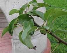 birnbaum schwarze blätter wer kennt diese birnbaum symptome mein sch 246 ner garten