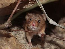 Was Essen Mäuse In Der Natur - minimaus die kleinsten m 228 use der welt im botanischen