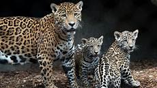 4 month old jaguar cubs refuse to leave mom s side during