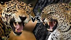 jaguar leopard who will win this battle youtube