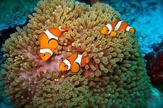 Nemo Itu Clown Fish Atau Ikan Badut Gambar Gambar Ikan
