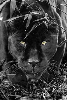 jaguar animal noir black jaguar by colin langford jaguar noir felin