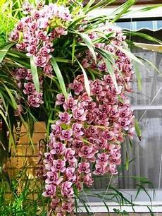 cymbidium orchideen pflege pin on gardens inside and out