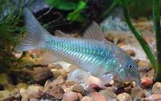 Makanan Ikan Hias Corydoras memilih induk untuk pembenihan ikan corydoras budidaya