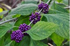 Strauch Mit Lila Beeren - bay friendly landscaping a for purple