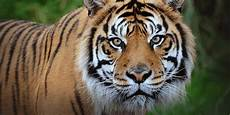 tigers national geographic