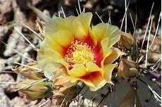 fiori di cactus fiori di cactus deserto foto gratis