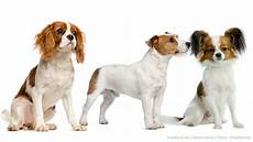 hunderassen mit bild kleine hunderassen mit bild hunde hundund de