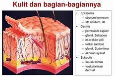 Anatomi Fisiologi Kulit Pada Manusia Belajar Aja