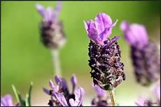 Schopflavendel Foto Bild Pflanzen Pilze Flechten